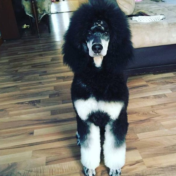 Roemers Standard Poodles About Ustestimonials
